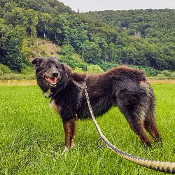 Seitenansicht eines stehenden Hundes mit Geschirr.